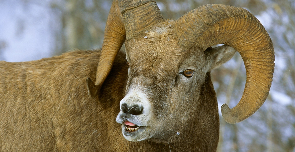 Big horn sheep slider